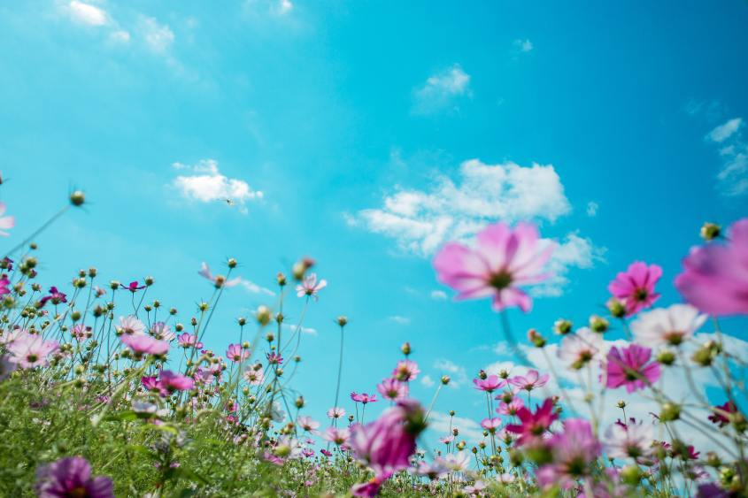 Pink flowers against a blue sky with white clouds